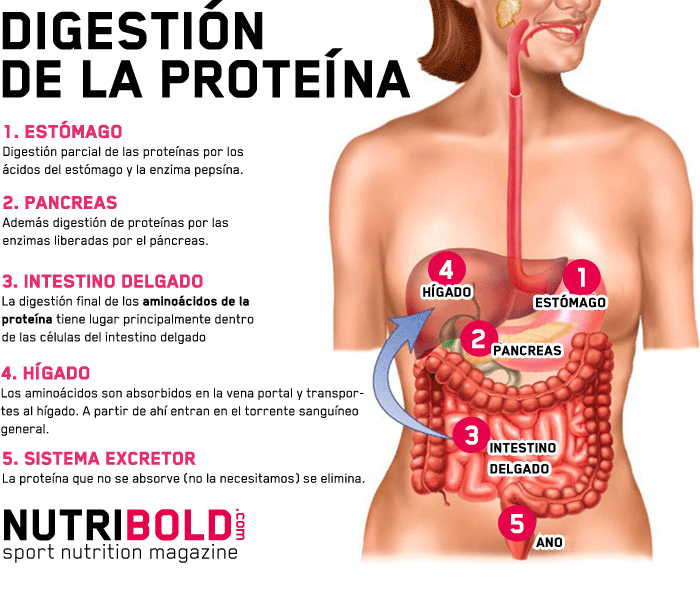 Infografía Digestión Proteína